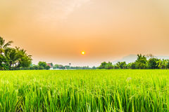 Beautiful paddy with nice background Royalty Free Stock Image