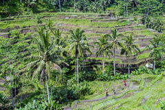 Beautiful paddy terrace field plantation at Tegallalang during early afternoon. Stock Photography