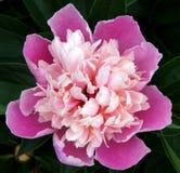 Fresh paeonia suffruticosa. Beautiful paeonia suffruticosa flower in the garden Stock Images
