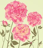 Beautiful paeony Royalty Free Stock Photo