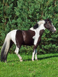 The beautiful paint draft horse Royalty Free Stock Photo