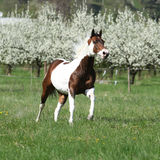 Beautiful paint horse running in front of flowering trees. Beautiful paint horse running in front of flowering plum trees in spring royalty free stock photos