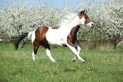 Beautiful paint horse running in front of flowering trees. Beautiful paint horse running in front of flowering plum trees in spring royalty free stock photography