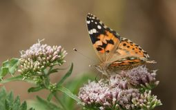 A beautiful Painted Lady Butterfly Vanessa cardui nectaring on a pink flower. Royalty Free Stock Photo