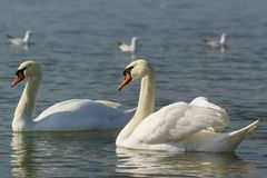 Beautiful pair of adult white swans mute lat. Cygnus olor is a bird of the duck family. Wintering in the Black sea stock photos