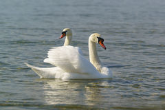 Beautiful pair of adult white swans mute lat. Cygnus olor is a bird of the duck family floating on the water. In the Black sea royalty free stock photo