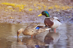Beautiful pair of birds and a duck a duck looking for food in the spring Stock Image
