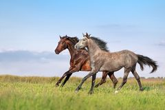 Beautiful pair of brown and gray horse galloping. Across the field on a background of blue sky royalty free stock images