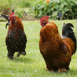 Beautiful pair of chickens Royalty Free Stock Image