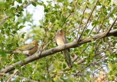 A beautiful pair of dove Royalty Free Stock Photos