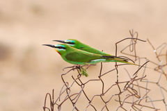 Beautiful pair of green bee-eaters Stock Image
