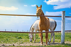 Beautiful Pair of Horses on the Animal Farm Royalty Free Stock Photography