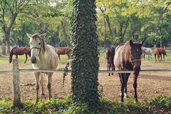 Beautiful Pair of Horses on the Farm ranch Royalty Free Stock Photo