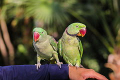 Pair of  Ring-necked Parrots. The Asia Ringneck Parrot or Parakeet Psittacula krameri manillensis - Bechstein, 1800 - is also sometimes referred to as Rose Royalty Free Stock Photography