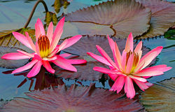 Beautiful pair of large water lilies in a tropical pond Stock Images