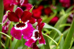 Beautiful pair of miltonia or pansy orchids in a garden royalty free stock image