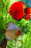 Beautiful Pair Of Discus Fish Royalty Free Stock Images