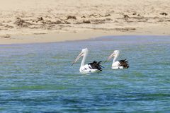 Beautiful pair of pelicans near the sandy beach of Rockingham, Western Australia stock photos