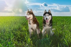 Beautiful pair Siberian huskies in sunny day sitting on green grass against blue sky and clouds. Clever husky dog, affectionate. stock image