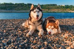 Beautiful pair of Siberian husky dogs rest on the shore against a calm river in warm summer evening. Copy space stock photos