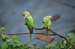 Found this cute pair of birds hanging on on a beautiful morning Royalty Free Stock Photography