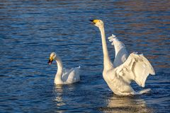 Swans lake sing couple birds. Beautiful pair of white swans sing on a lake on a background of blue water on a sunny day Royalty Free Stock Photo