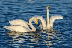 Swans lake sing couple birds. Beautiful pair of white swans sing on a lake on a background of blue water on a sunny day Stock Photo