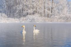 Swans lake couple winter frost Royalty Free Stock Image