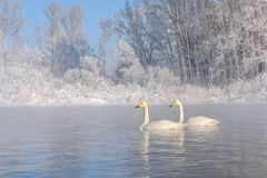 Swans lake couple winter frost Stock Image
