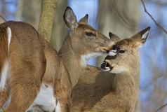 Beautiful pair of the wild deers Royalty Free Stock Photography
