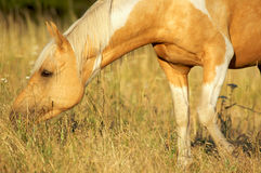 Beautiful Palamino in a Field. Pretty Palomino Paint Horse in Evening Light Royalty Free Stock Image