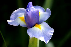Beautiful pale blue iris flower in Spring garden Royalty Free Stock Image