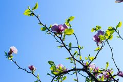 Beautiful pale pink blooming magnolia. Stock Photo