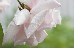 Beautiful pale pink rose Royalty Free Stock Photo