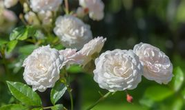 Beautiful pale-pink rose flowers. Beautiful pale-pink rose flowers in garden. Floral background Stock Images