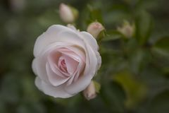 Beautiful pale pink rose in the garden closeup. Beautiful pink rose in the garden closeup background Stock Photos