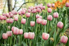 Beautiful pale pink tulips blooming in the spring Park royalty free stock image