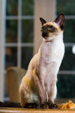 Beautiful pale Siamese cat Royalty Free Stock Images