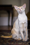 Beautiful pale Siamese cat Royalty Free Stock Photography