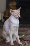 Beautiful pale Siamese cat Stock Photos