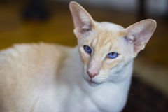 Beautiful pale Siamese cat Stock Images
