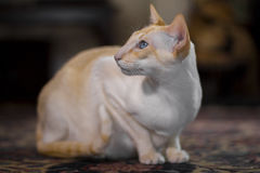 Beautiful pale Siamese cat Stock Image
