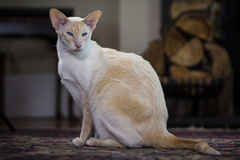 Beautiful pale Siamese cat Royalty Free Stock Photo