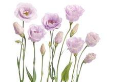 Beautiful pale violet eustoma flowers. On white background Royalty Free Stock Photos