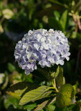 Beautiful Pale Violet Hydrangea Flower stock photo
