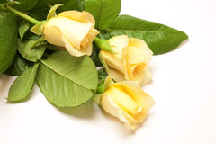 Beautiful pale yellowish rose Royalty Free Stock Images
