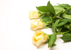 Beautiful pale yellowish rose Stock Photo