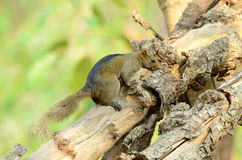 Palla's Squirrel (Callosciurus erythraeus) Royalty Free Stock Photography