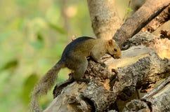 Palla's Squirrel (Callosciurus erythraeus) Stock Image