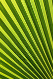 Beautiful palm leaf Royalty Free Stock Images